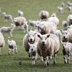 Sheep Killed in Sutton Veny
